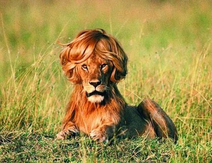 Gayest Lion Ever