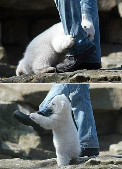 polar bear cub attacks jeans