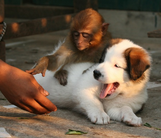 Monkey Says Sir No Touching Dog Please