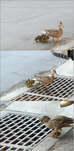 Ducklings Cross Street Fall In Sewer