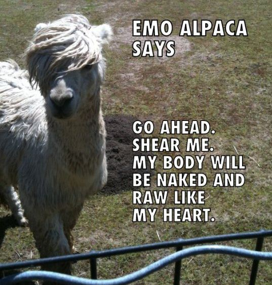 Emo Alpaca Says Sheer Me