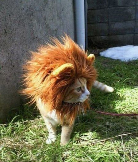 cat dressed up as lion