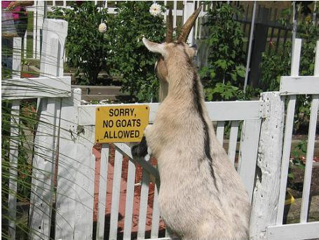 Sorry No Goats Allowed