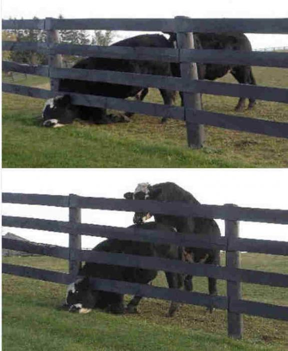 Cows Head Stuck in Fence then Mounted