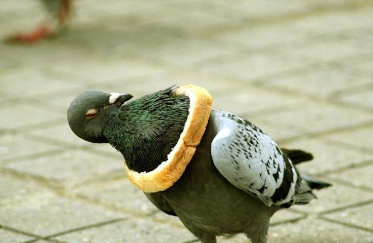 bread one pigeon zero